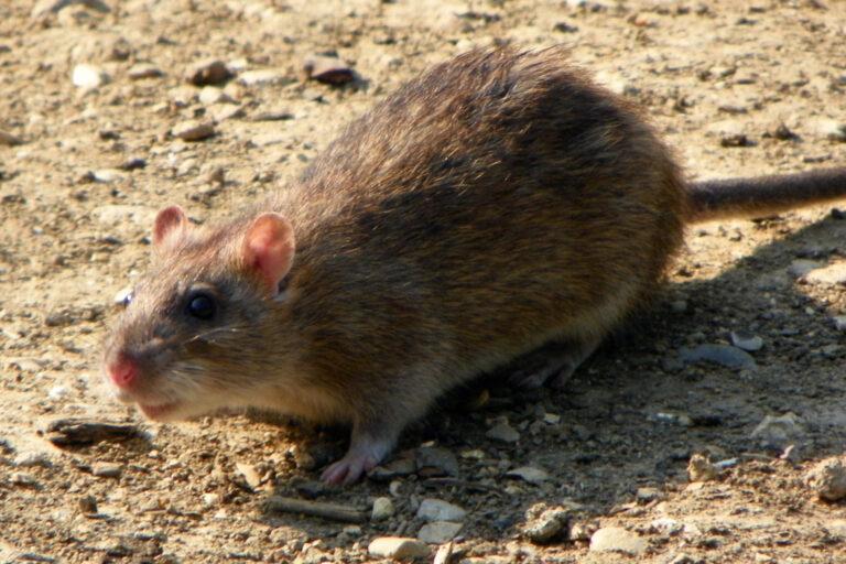 Brown rat, Norway rat, or common rat