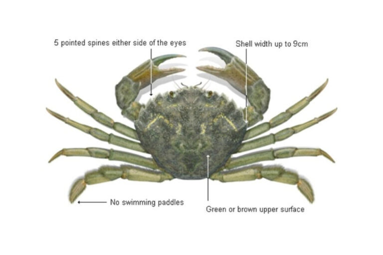 European Green Crab and its identification markers