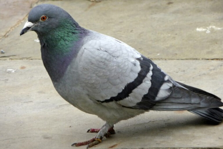 Rock dove, or common pigeon