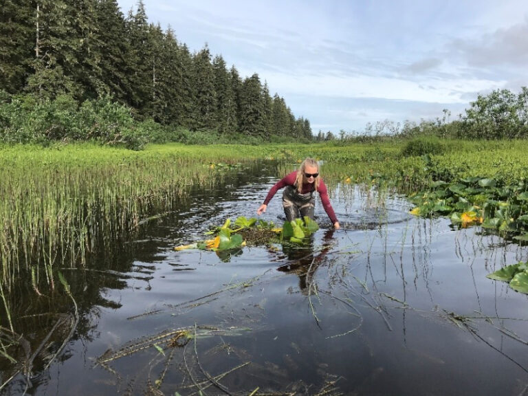 Each year the local Forest Service creates a path through dense vegetation in Tawah Creek to allow Sockeye to reach Summit Lake for spawning.